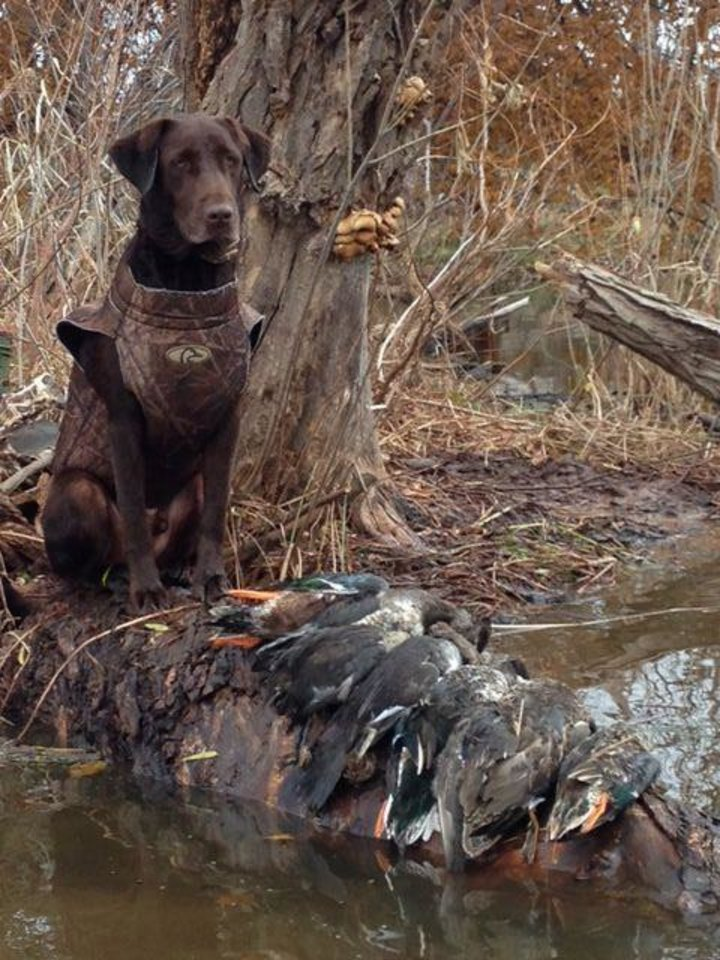 Photo -  Duck season is open statewide through Sunday then there is a two-week break in zones 1 and 2 before re-opening on Dec. 14.