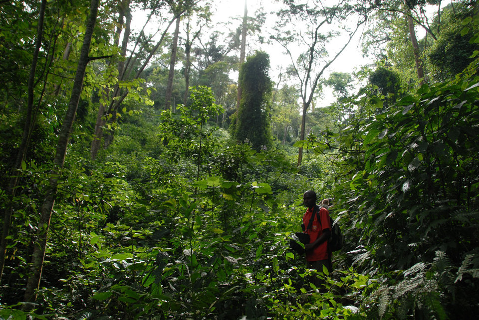 Photo -  An ElderTreks guide searches for a trail in Uganda's Bwindi Impenetrable Forest. Photo courtesy of ElderTreks.