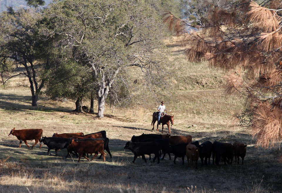 Photo - In this photo taken on Nov. 26, 2012 near Friant, Calif., herd manager Billy Freeman pushes cattle grazing on the Finegold Creek Preserve toward another pasture. The land and the herd are owned by the Sierra Foothill Conservancy, a Fresno-area land trust that's one of several conservation groups partnering with industries such as ranching, logging and fishing. (AP Photo/Gosia Wozniacka)