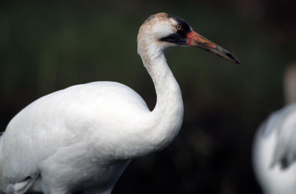 Photo -  State wildlife officials are asking the public to report sightings of whooping cranes. The endangered birds will be passing through Oklahoma for the next few weeks. Photo by U.S. Fish and Wildlife Service