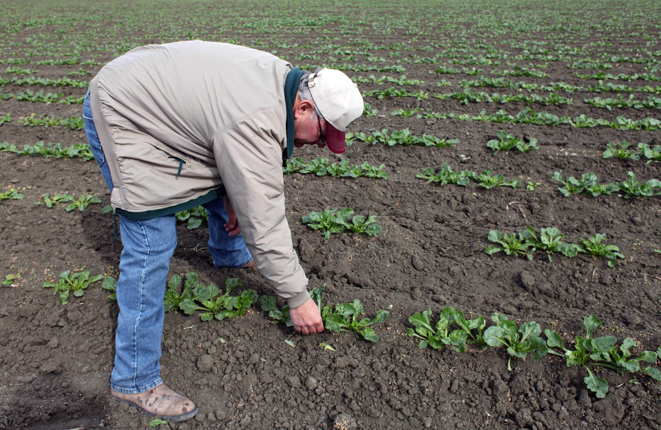 Photo - In this March 6, 2013 photo, farmer Frank DelTesta bends over to check on the sugar beets that will be processed into ethanol at a demonstration plant that's under construction, in Five Points, Calif. If the demo plant is successful, DelTesta and a dozen other farmers plan to build the nation's first commercial-scale beet bio-refinery. (AP Photo/Gosia Wozniacka)
