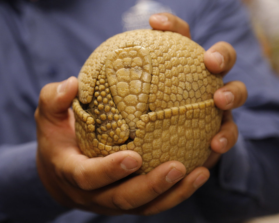 SeaWorld animal ambassador Clay Carabajal shows how a three banded armadillo, named Wilson, curls up in a ball for protection as SeaWorld visited the OPUBCO on Thursday, Feb. 21, 2013, in Oklahoma City, Okla. Photo by Doug Hoke, The Oklahoman
