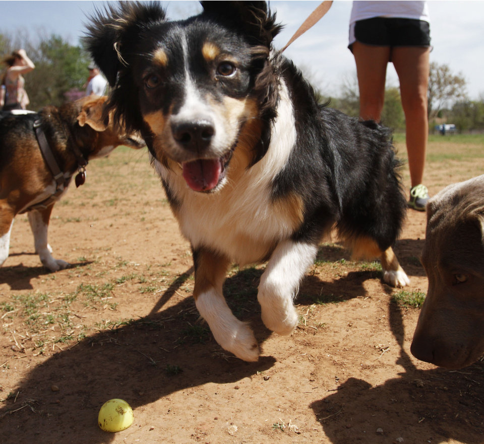 Photo -  Harlee, a dog owned by Amber Wilburn, searches for Easter eggs at the annual Edmond Hound Hunt at the dog park in Edmond. Photo by K.T. King, The Oklahoman   KT King -