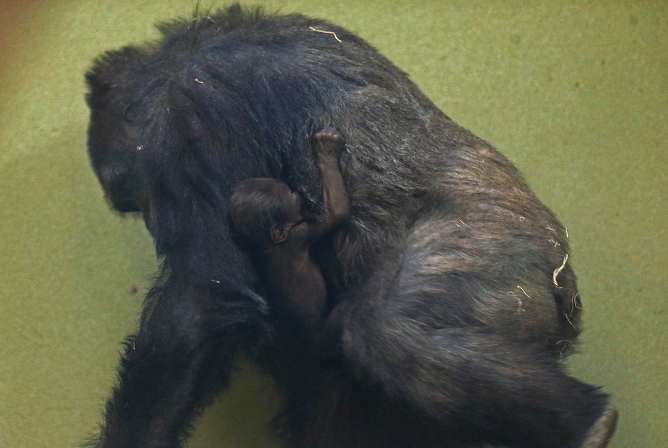 Kelele holds her newborn baby at the Oklahoma City Zoo on Friday. Photo by Sarah Phipps, The Oklahoman SARAH PHIPPS - SARAH PHIPPS