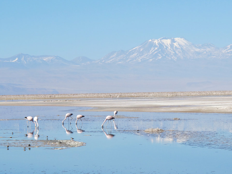 Photo -   This August 2012 photo shows flamingos on the Atacama salt lake (Chaxas Lagoon) at the