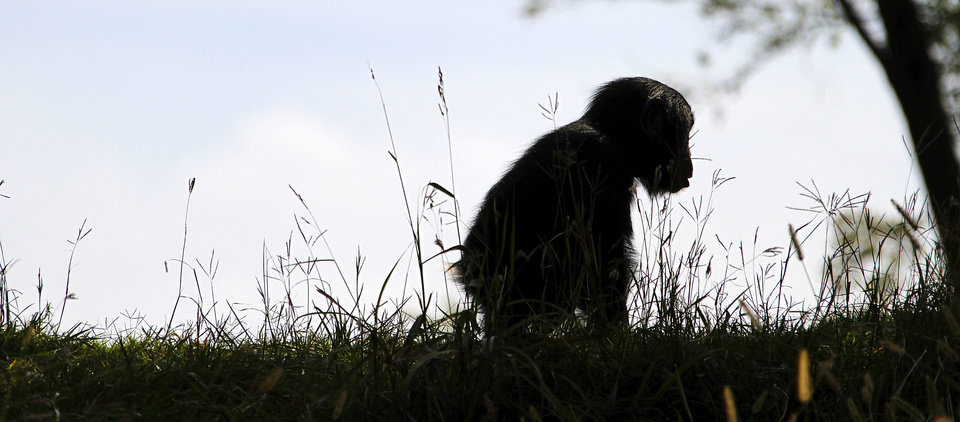 Photo - Ruben, a young male chimpanzee  plays in the grass at the Oklahoma City Zoo. Photo By Steve Gooch, The Oklahoman  Steve Gooch - The Oklahoman