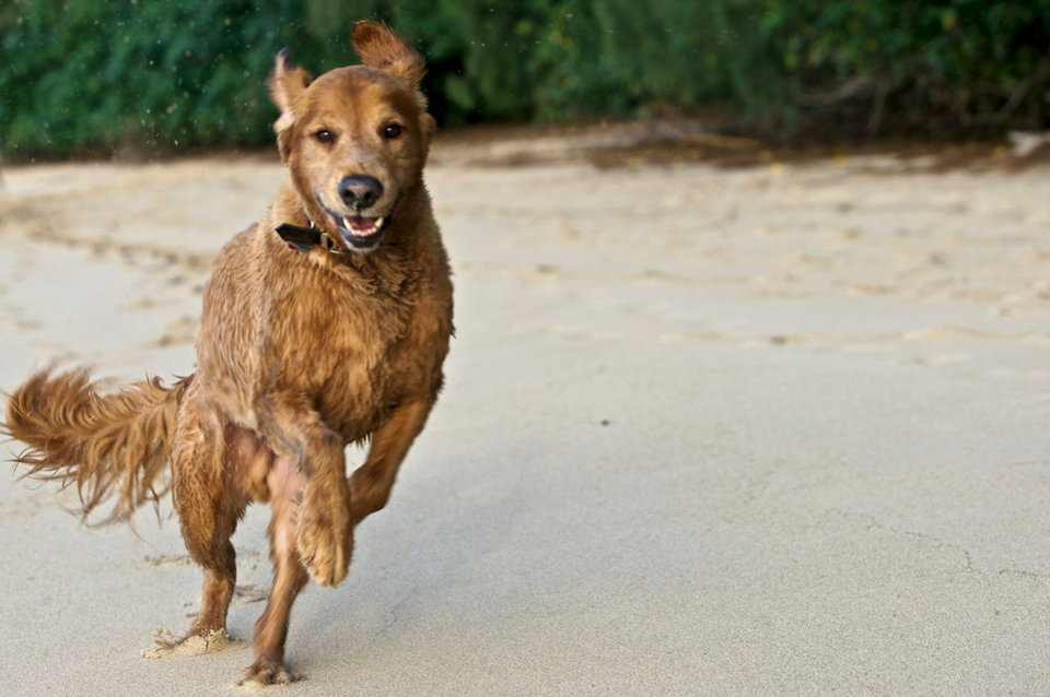 Photo - In this 2010 photo provided by Explore.org, philanthropist Charlie Annenberg's golden retriever, Lucky, runs at the Pipeline Beach in Ehukai Beach Park, Haleiwa, Hawaii. For 16 years, Lucky has been his sidekick, soul mate and inspiration, said Annenberg. In 2010, Annenberg started Dog Bless You, a journal of their travels as told by Lucky but written by Annenberg. (AP Photo/Explore.org)