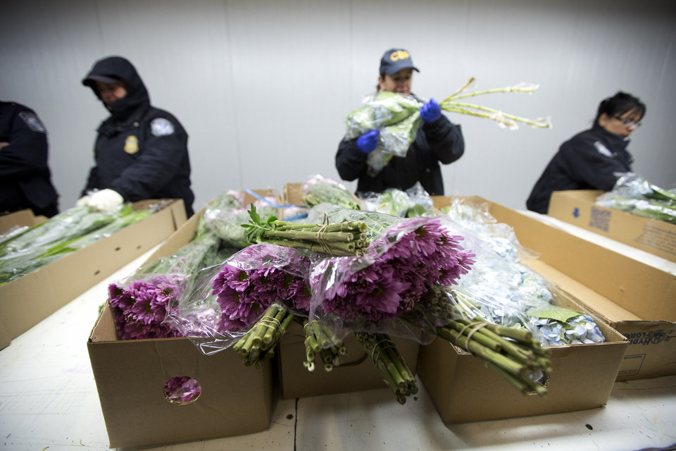 Photo - In this Jan. 9, 2014 photo, a group of U.S. Customs and Border Protection officials check imported flowers at Miami International Airport. In the weeks leading up to Valentine's Day, about 738 million flowers come through the airport. (AP Photo/J Pat Carter)