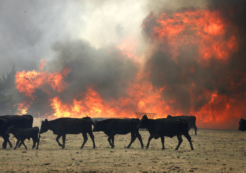 Cattle move to avoid the flames of a large grass fire in a farm off of Air Depot between 63rd and Wilshire in Oklahoma City, OK, Tuesday, Aug. 30, 2011. By Paul Hellstern, The Oklahoman