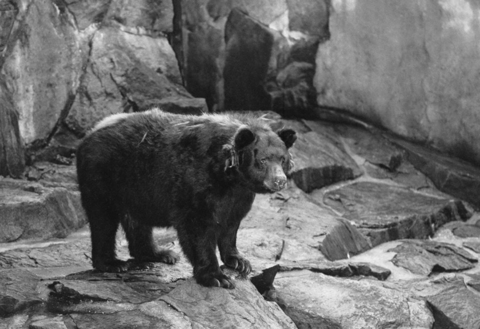 Photo - FILE - This undated file photo shows the original Smokey the Bear, symbol of forest fire prevention is shown in his National Zoo home in Washington, D.C.Smokey died in 1976 and was returned where he was  found as a cub with burned paws in 1950 in Capitan N.M.  Smokey Bear was created in 1944 because of fears that enemy shelling from Japan would cause forest fires while most U.S. firefighters were in battle overseas. When the war ended, Smokey stuck around _ and he is now at the center of the longest-running public service announcement campaign in U.S. history. Research shows he is known by 96 percent of American adults and ranks near Mickey Mouse and Santa Claus for name recognition.  (AP Photo)
