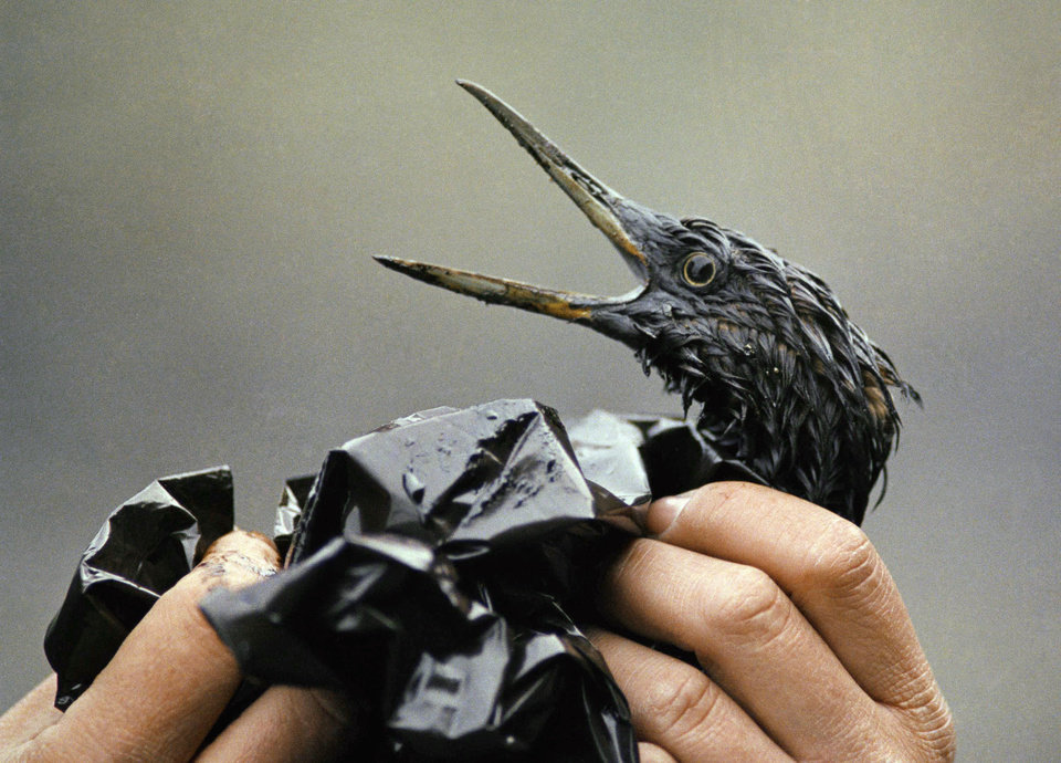 Photo - FILE - In this April 1989 file photo, an oil soaked bird is examined on an island in Prince William Sound, Alaska. Exxon Mobil Corp. was ordered Monday, June 15, 2009 to pay about $500 million in interest on punitive damages for the Exxon Valdez oil spill off Alaska, nearly doubling the payout to Alaska Natives, fishermen, business owners and others harmed by the 1989 disaster. The ruling was issued by the 9th U.S. Circuit Court of Appeals in San Francisco. Nearly 25 years after the Exxon Valdez oil spill off the coast of Alaska, some damage heals, some effects linger in Prince William Sound. (AP Photo/Jack Smith, File)