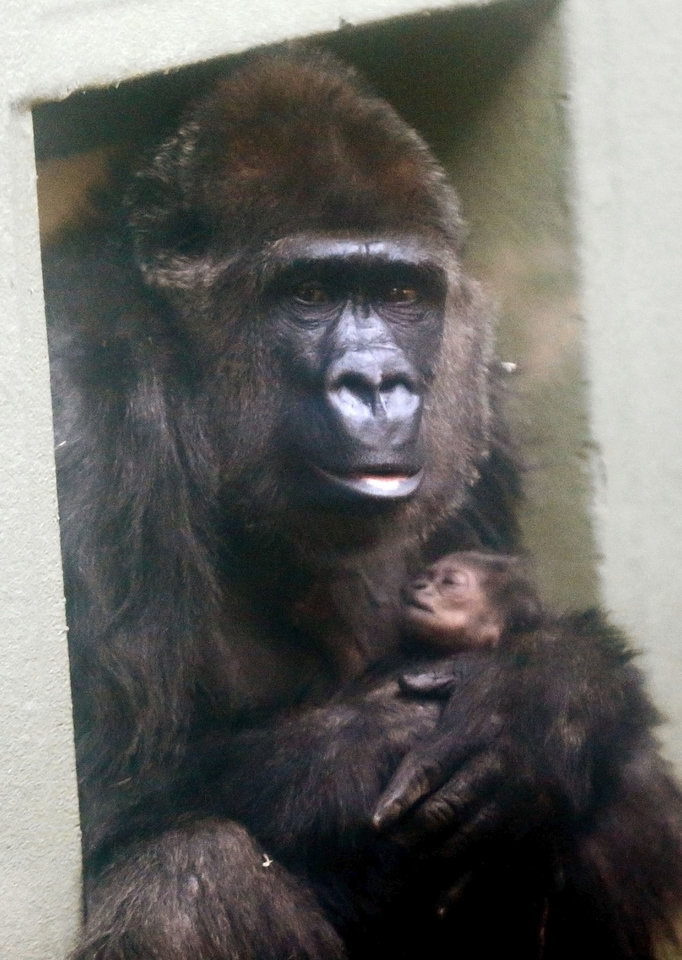 Kelele holds her newborn baby Friday at the  Oklahoma City Zoo.  Photo by Sarah Phipps,  The Oklahoman