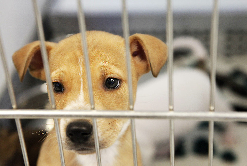 Photo - A puppy is at the Homeward Bound quarantine center in Oklahoma City. The Homeward Bound program puts dogs from the Oklahoma City Animal Shelter in shelters in other states. Photos By David McDaniel, The Oklahoman