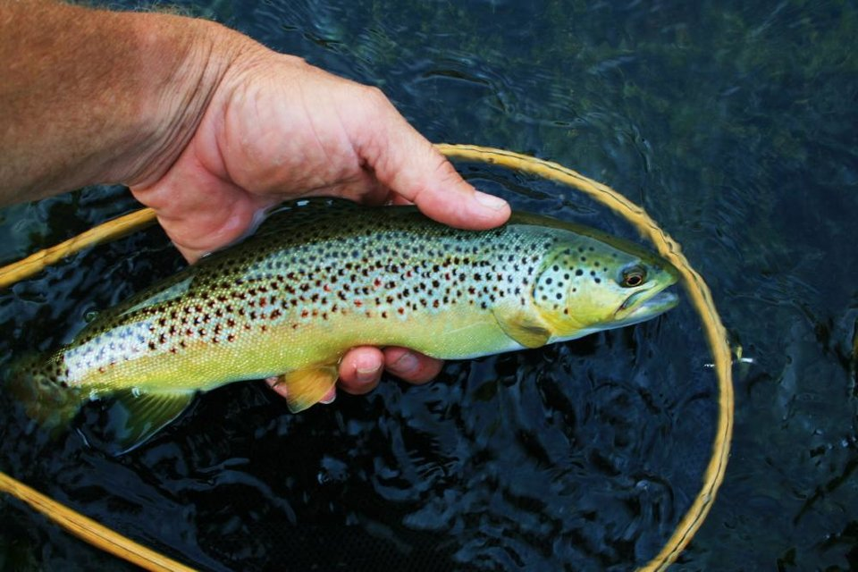 Photo -  A brown trout from the Lower Mountain Fork River