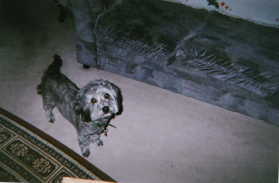 Photo - PET TALES / DOG: Pepper, a saved Schnoodle ORG XMIT: 0905271531226638
