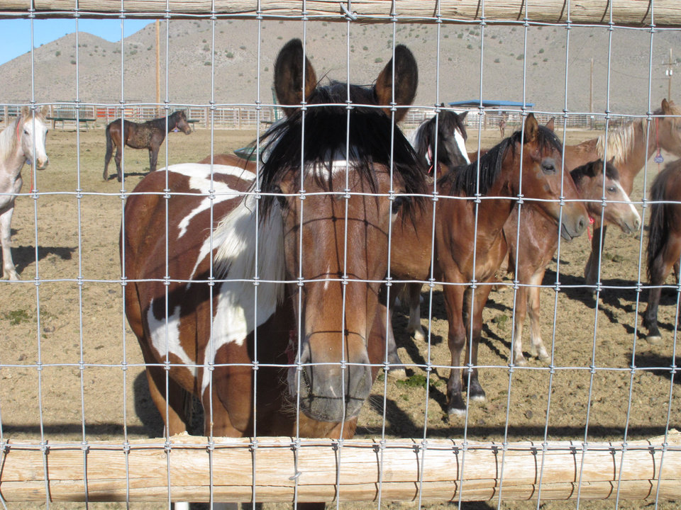 Photo - Some of the hundreds of mustangs the U.S. Bureau of Land Management recently has removed from federal rangeland peer at visitors Wednesday, June 5, 2013, at the BLM's Palomino Valley holding facility about 20 miles north of Reno. The National Academy of Science's National Research Council released a two-year study Wednesday recommending ways to curtail sky-rocketing costs associated with caring and feeding for the animals, as well as alternatives to the controversial roundups. (AP Photo/Scott Sonner)