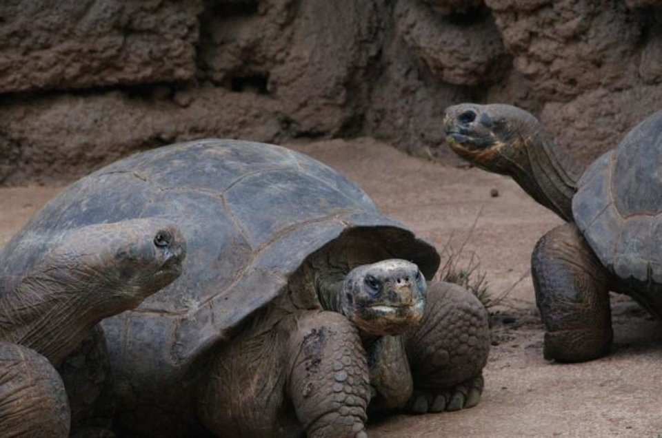 Photo - Galapagos Tortoises are among the various turtle species that live at the Oklahoma City Zoo. [Photo provided]