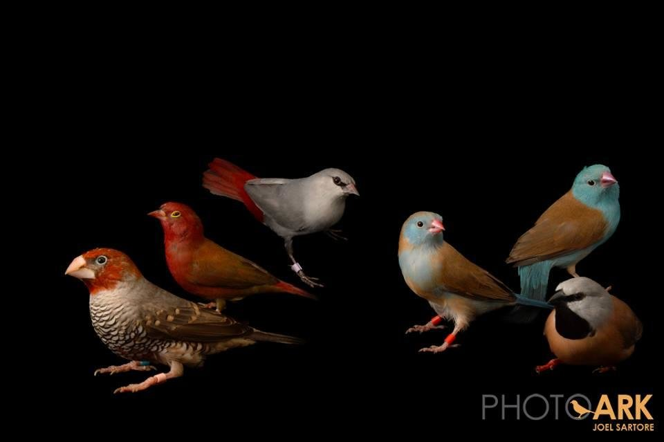 Photo -  Acclaimed wildlife photographer and Ponca City native Joel Sartore took this portrait of various finches during his recent visit to the Tulsa Zoo. Through his Photo Ark, Sartore is trying to take portraits of every animal species in captivity. Photo provided by Joel Sartore    Joel Sartore