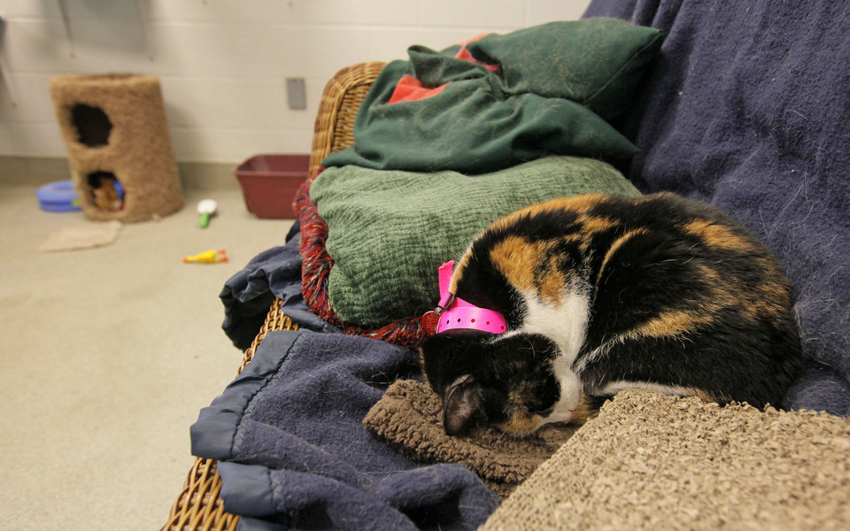 Patches (A106264), a female cat, rests in a cat adoption room at the Oklahoma City Animal Shelter this month. <strong>NATE BILLINGS - The Oklahoman</strong>