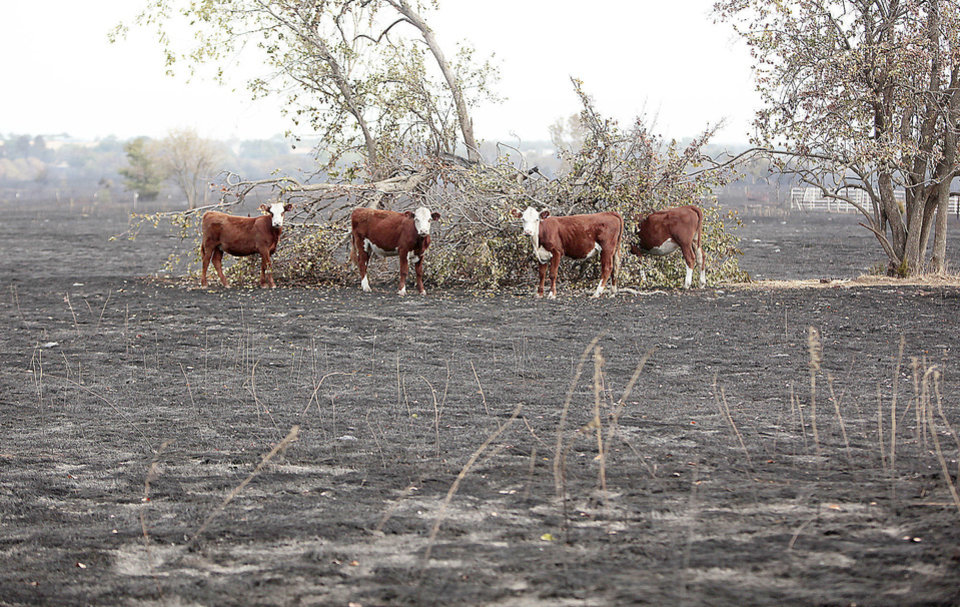 Photo - Cows gather around a tree in a burned field Sunday in Glencoe, a day after wildfires swept through the area.