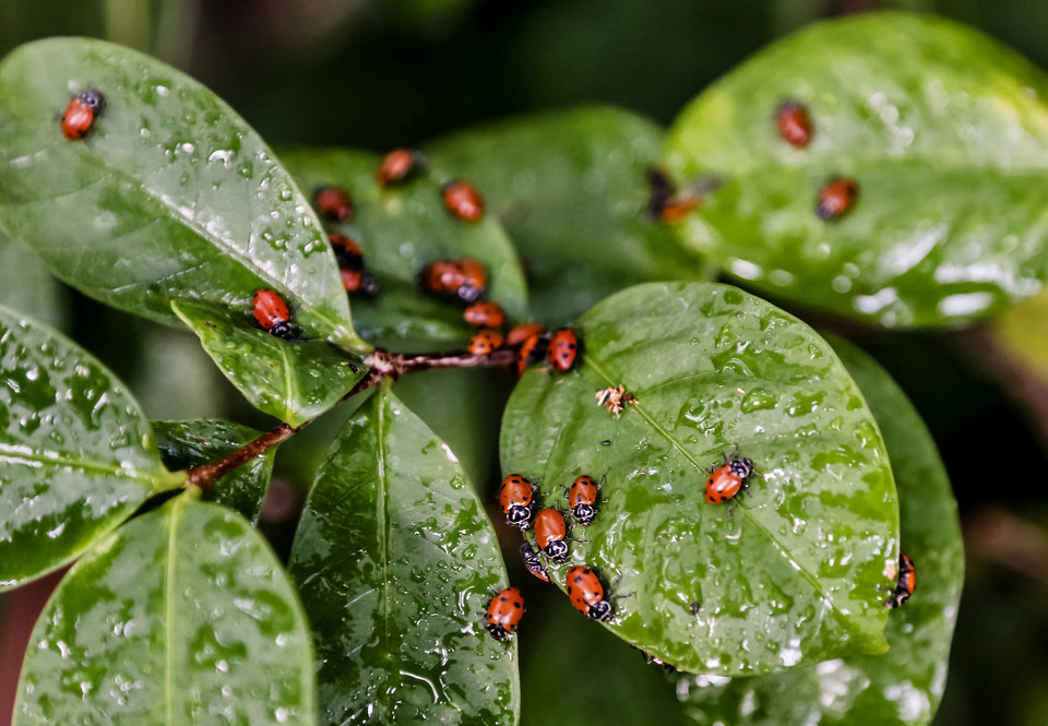 Ladybugs cover the leaves of a plant looking for water during the ladybug release at the Myriad Botanical Gardens/Crystal Bridge on Tuesday, May 7, 2013, in Oklahoma City, Okla. Photo by Chris Landsberger, The Oklahoman ORG XMIT: KOD