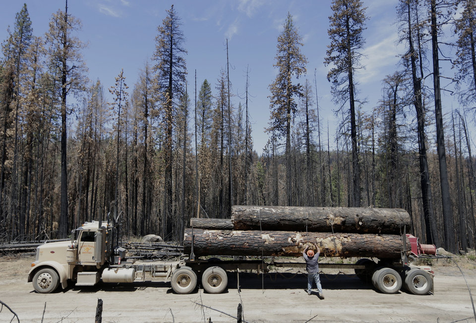Photo - In this Friday, July 25, 2014 photo, fallen trees, harvested from the  Rim Fire, are chained down before being removed, near Bucks Meadow, Calif.  Nearly a year after the Rim Fire charred thousands of acres of forest in California's High Sierra, a debate rages over what to do with the dead trees, salvage the timber to pay for forest replanting and restoration or let nature take its course. Environmentalist say that the burned trees and new growth beneath them create vital habitat for dwindling bird such as spotted owls, and black-backed woodpeckers and other wildlife. (AP Photo/Rich Pedroncelli)
