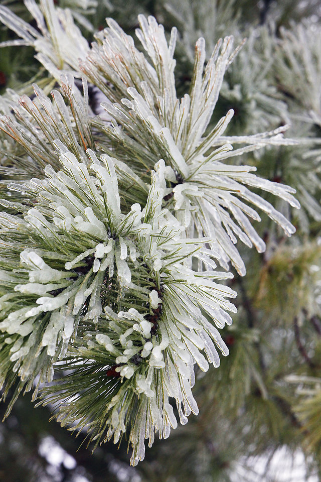 Photo - Ice on a pine tree in Edmond, Friday , January 29, 2010. Photo by David McDaniel, The Oklahoman