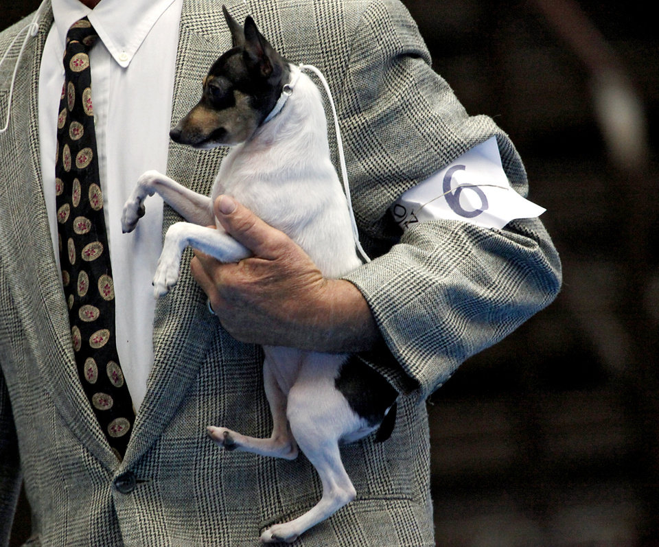 Ch. Barbery's Love Letter, a Toy Fox Terrier, is held by Gene Bellamy, of Oklahoma City, during the Oklahoma City Summer Classic Dog Show at the Cox Convention Center in Oklahoma City Sunday, June 28, 2009. Photo by John Clanton, The Oklahoman