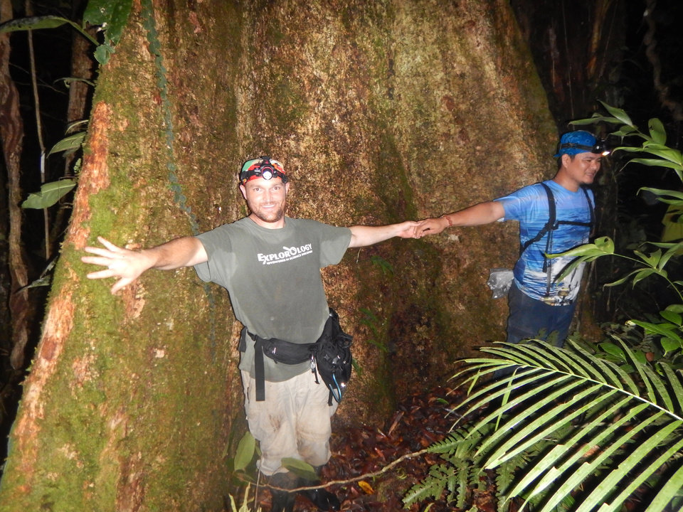 Photo -  The University of Oklahoma's Cameron Siler and Filipino collaborator Marvic Yngente show the size of some of the primary rainforest trees on Samar Island's Mount Huraw in the Philippines during a biodiversity survey. Siler said more than 95 percent of all primary rainforest in the Philippines have been logged, so trees as large as this are rare. PHOTOS PROVIDED   PROVIDED -  Provided by Cameron Siler