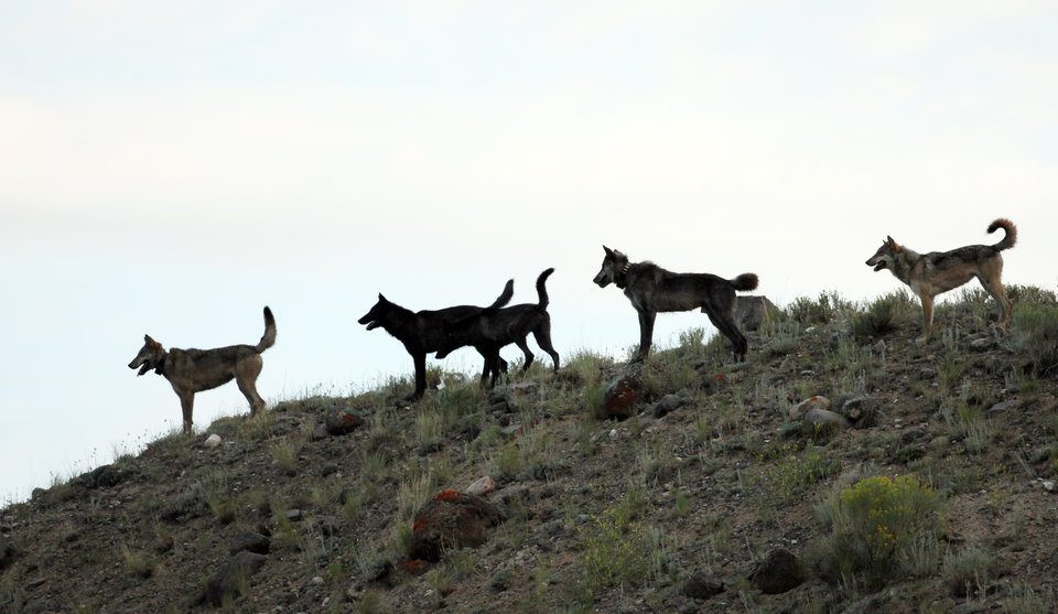 Photo - This August 2012 photo shows an image provided by Wolves of the Rockies of the Lamar Canyon wolf pack on a hillside in Yellowstone National Park, Wyo. The pack's alpha female was shot Dec. 6, 2012, in Wyoming, among at least five collared wolves from Yellowstone killed by hunters this fall. Four more wolves collared in the park but no longer living there also have been shot. (AP Photo/Wolves of the Rockies)