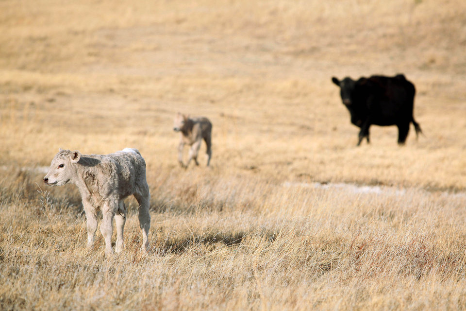 Photo - In this March 17, 2014 newborn calves stand in a field on the O'Connor Ranch near Philip, South Dakota. Rancher Chuck O'Connor brought in about 200 females to rebuild his herd which suffered losses in an unexpected blizzard last fall. With the arrival of the spring calving season, O'Connor estimates his herd will grow to around 500 in May. (AP Photo/Toby Brusseau)