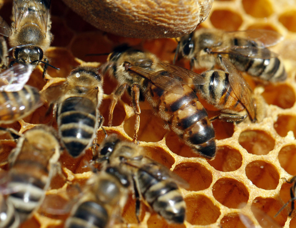 The queen bee, center, is larger compared to other bees as Brian Royal demonstrates beekeeping techniques. <strong>STEVE SISNEY - THE OKLAHOMAN</strong>