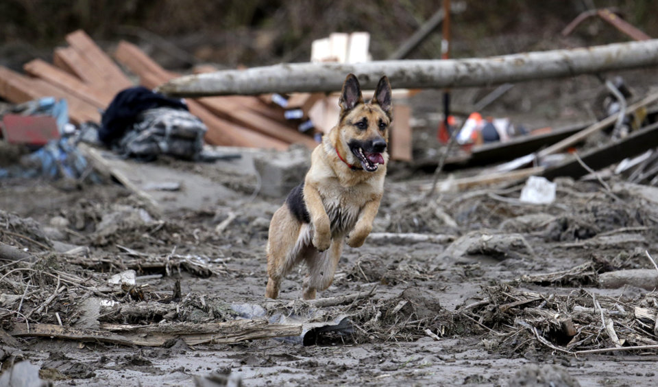 Photo - Search dog Stratus leaps through a debris field while working with a handler following a deadly mudslide, Tuesday, March 25, 2014, in Oso, Wash. At least 14 people were killed in the 1-square-mile slide that hit in a rural area about 55 miles northeast of Seattle on Saturday. Several people also were critically injured, and homes were destroyed. (AP Photo/Elaine Thompson)