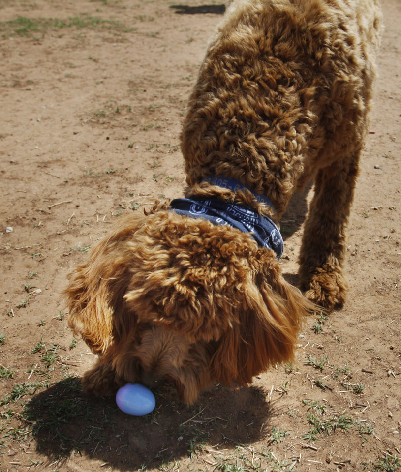 Photo - Cooper, a Goldendoodle belonging to Linda Yingling of Oklahoma City, attempts to open an easter egg at the annual Edmond Hound Hunt held at the dog park in Edmond on Saturday, April 12, 2014. Photo by KT King, The Oklahoman