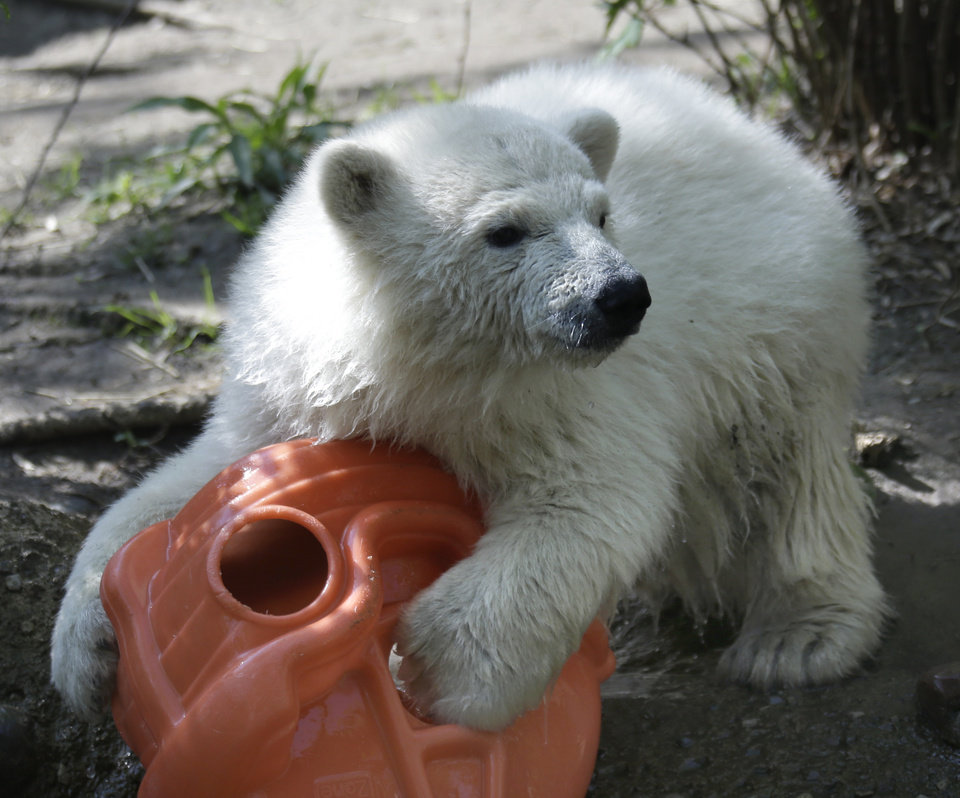 Photo - Luna, a resident polar bear cub, plays with a toy during a news conference at the Buffalo Zoo in Buffalo, N.Y., Wednesday, May 15, 2013. Luna will be the playmate for Kali, an orphaned polar bear cub from Alaska, until a permanent home is located. (AP Photo/David Duprey)