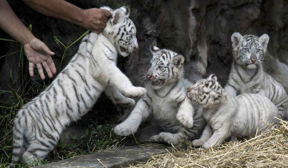 Photo - A zoo worker places a white tiger cub with his three siblings at the Buenos Aires Zoo in Argentina, Thursday, March 21, 2013.  Cleo, a female Bengal white tiger, gave birth to two females and two males on Jan. 14. (AP Photo/Natacha Pisarenko)