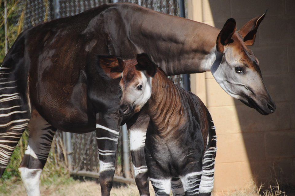 Nia, an okapi born in November, stands by her mother, Caroli, at the Oklahoma City Zoo. Photo provided