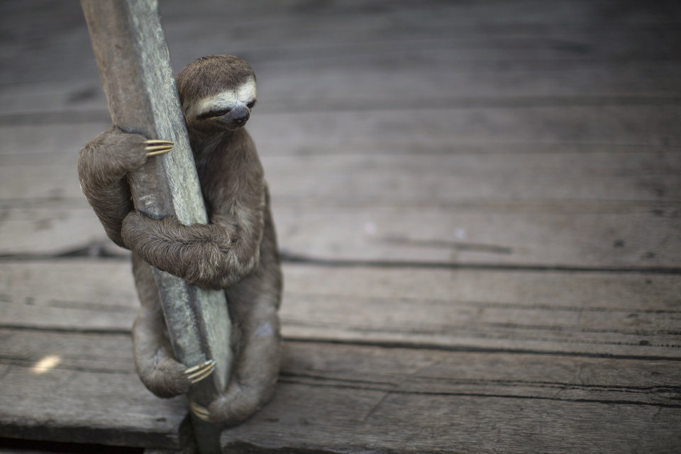 Photo - In this May 20, 2014 photo, a sloth holds itself on the deck of the Silva family's floating house on the Lago do Janauari, or Solimoes River, near Manaus, Brazil. Between the parents, the four kids, the dog, the two sloths, the python and the baby caiman, it's a tight fit in the Silva family's two-room floating home in the Amazon rainforest. The exotic houseguests help 35-year-old fisherman Evandro Correia da Silva and his family eke out a living on their native Solimoes River, on the opposite bank from Manaus, a World Cup host city where the U.S., English and Italian teams will be among those battling it out. (AP Photo/Felipe Dana)