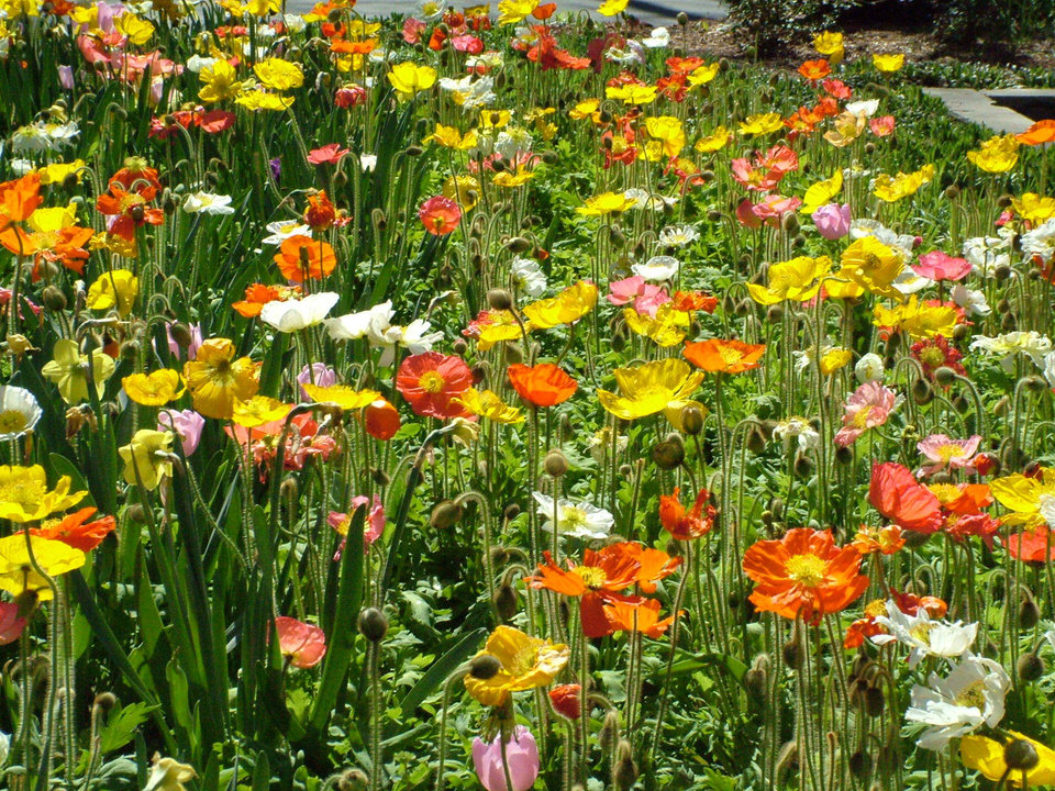 "A field of brilliant poppies at ""Dallas Blooms"" at the Dallas Arboretum just east of downtown Dallas, Texas, on Mar. 20.<br/><b>Community Photo By:</b> Lin Archer<br/><b>Submitted By:</b> Lin,"