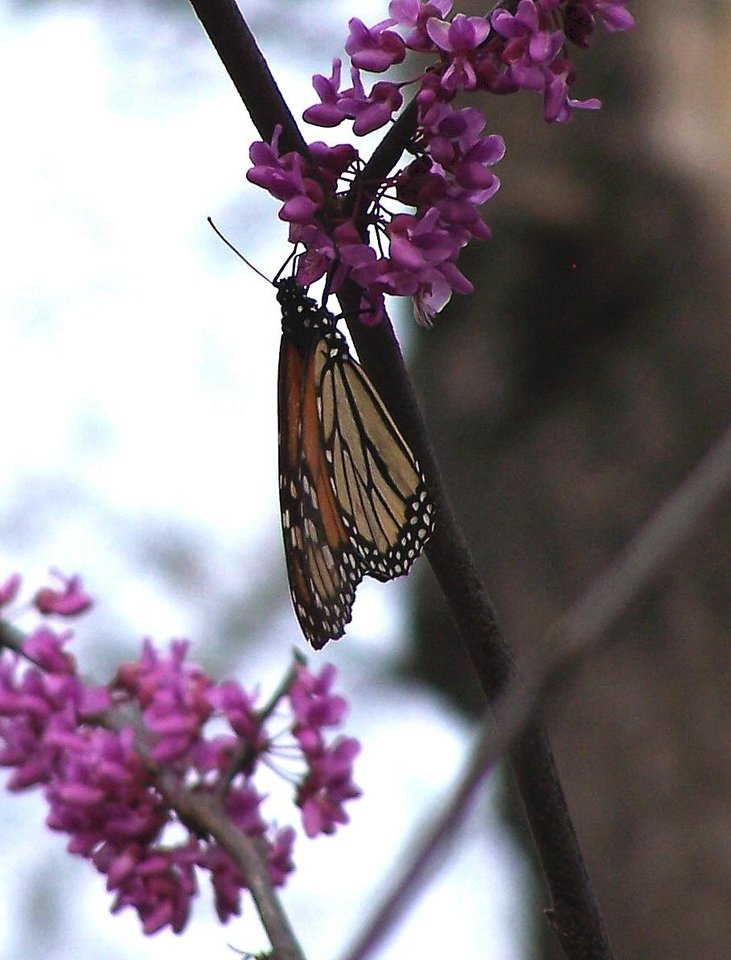 A butterfly visits a blooming redbud<br/><b>Community Photo By:</b> Cindi Tennison<br/><b>Submitted By:</b> Cindi , Bethany