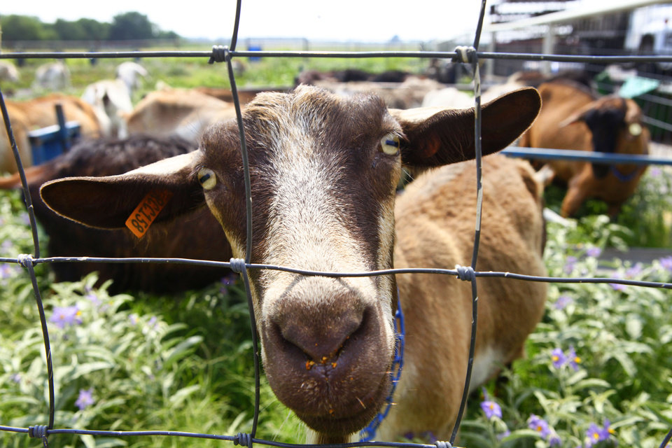 Photo - Redlands Community College is planning to sell off dairy goats kept at the Darlington Agriculture Education and Applied Research Center north of El Reno as part of cost cutting efforts.  Photo by David McDaniel, The Oklahoman  David McDaniel - The Oklahoman