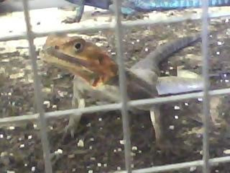 Hello lizzard how are you at A and B pet store..<br/><b>Community Photo By:</b> Kash<br/><b>Submitted By:</b> Tama, Midwest