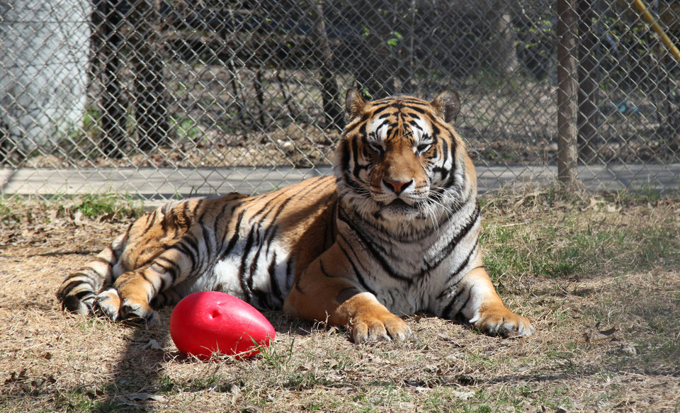 Tacoma, a 13-year-old Siberian tiger, is shown in his enclosure at InSync Exotics animal preserve Monday, March 18, 2013, in Wylie, Texas. Tacoma is the first tiger in the US to go through a nerve surgery to alleviate pain caused from hip dysplasia. (AP Photo/John L. Mone)
