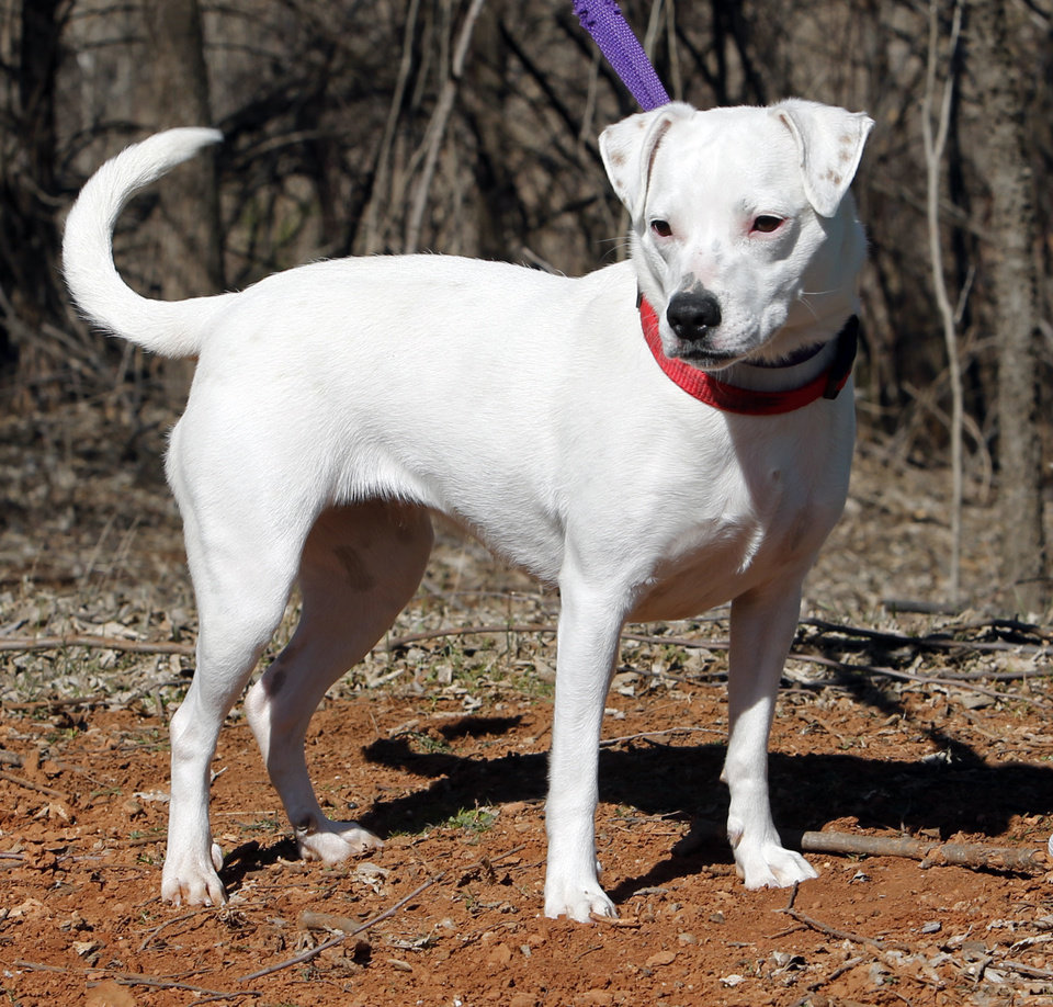 Photo - Maggie is a four-year-old, Australian Cattle Dog/Dalmation mix available at Second Chance Animal Sanctuary on Wednesday, Feb. 25, 2015, in Norman, Okla.  She is deaf.  Maggie is great with cats and most dogs and loves people.  She is a spayed female has an identifying microchip implant, is current on shots and tests, and is available for a fee of $110.  Second Chance's phone number is 405-321-1915.