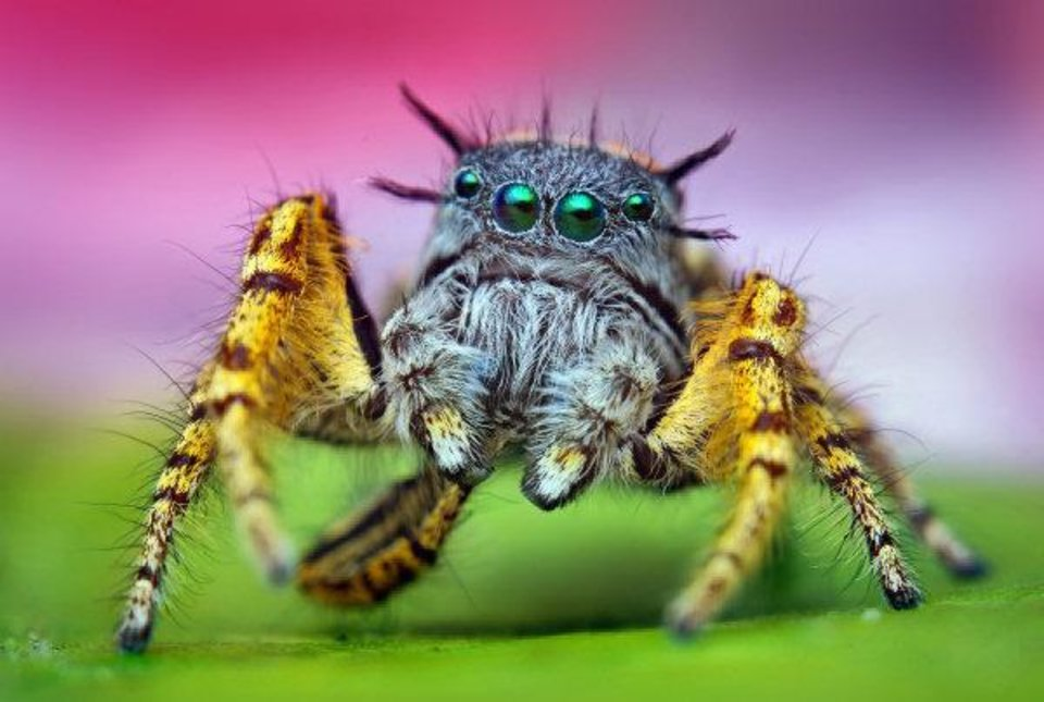 Adult male jumping spider (Phidippus mystaceus). Photographing a male jumping spider was high on Shahan's list of goals, but when he found one, it wasn't easy. The spider moved constantly, sometimes jumping at the lens. <strong>Thomas Shahan - www.thomasshahan.com</strong>