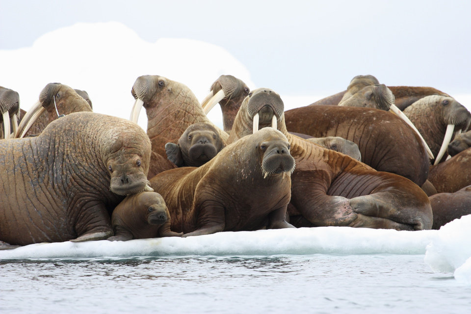 Photo -   This July 17, 2012 photo released by the U.S. Geological Survey shows adult female walruses on an ice floe with their young in the U.S. waters of the Eastern Chukchi Sea in Alaska. The absence of vast swaths of summer sea ice is changing the behavior of Pacific walrus, federal scientists said Wednesday, but more research is needed to say what the final effects might be. (AP Photo/U.S. Geological Survey, S.A. Sonsthagen)