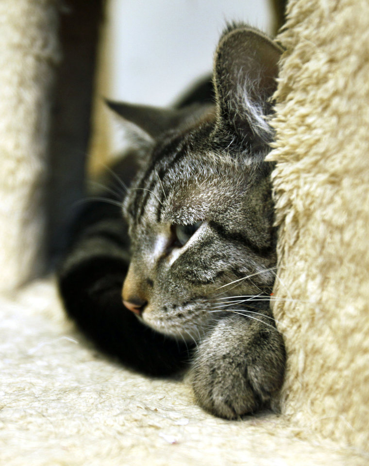 A cat sits inside its box at the Edmond Animal Shelter in Edmond , OK, Tuesday, Jan. 10, 2012. The shelter adopted 279 more dogs, cats and small animals in 2011 over the previous year. By Paul Hellstern, The Oklahoman