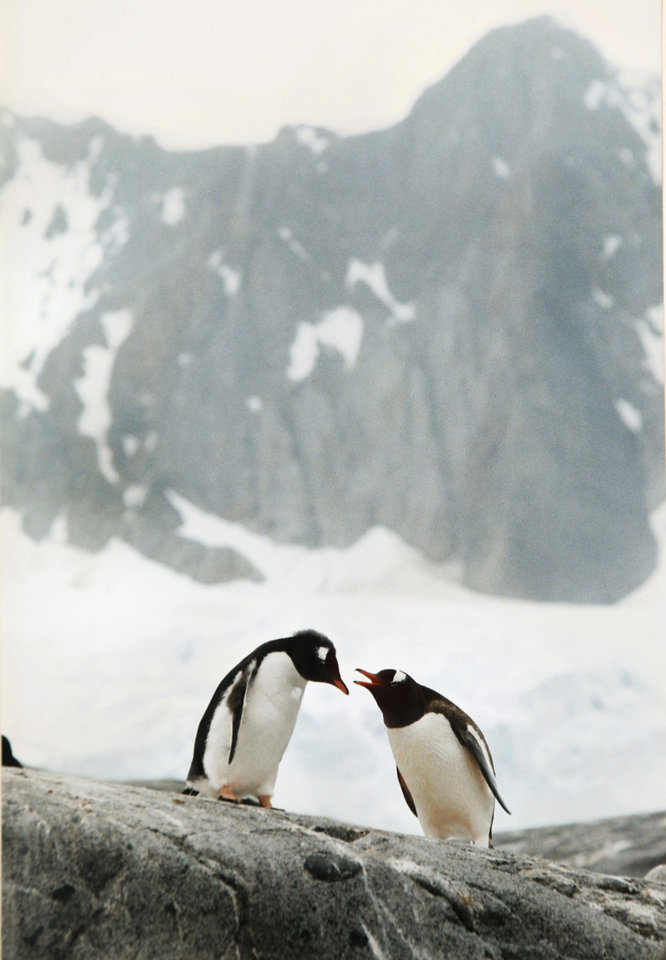 Photo -  Ralph Thompson shot this photo of Gentoo penguins on the Antarctica Peninsula in 2001. He captioned the photo,