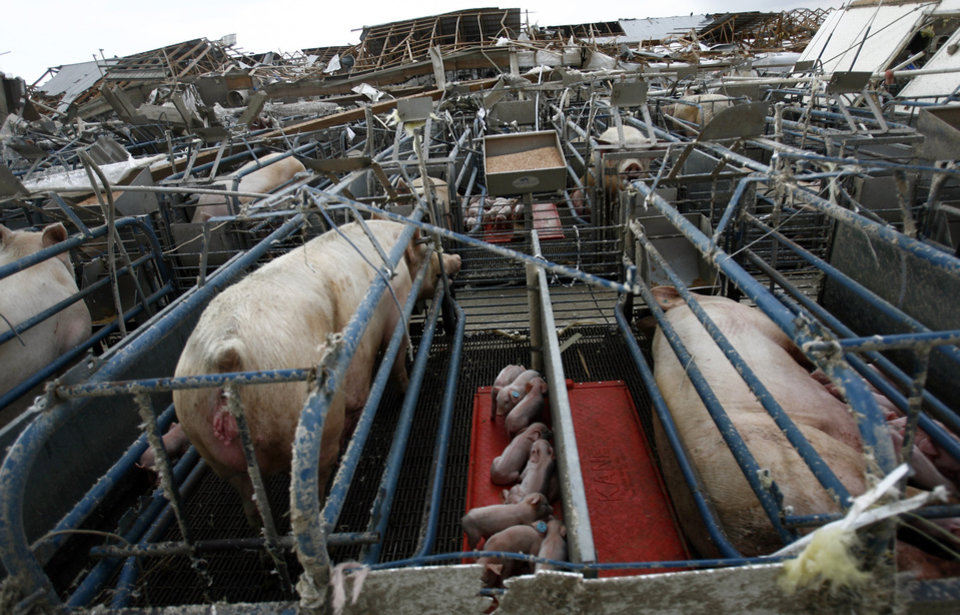 Photo - Pigs sit in their pen at the Farm 62 of Seaboard Foods near Lacey, Okla., Saturday, May 24, 2008. The farm was severely damaged by a tornado. BY SARAH PHIPPS, THE OKLAHOMAN