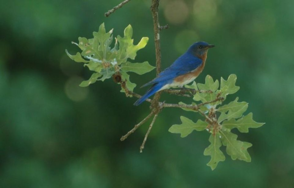Bluebird in Jones, OK / Photo by Mark StCyr